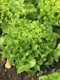 Organic oatleaf lettuce Stock Image