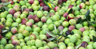 Organic olives ready for processing Stock Image