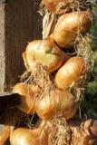 Organic onion bunch closeup. Organic onion bunch for drying closeup as background Stock Photo