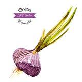 Organic onion watercolor vector Royalty Free Stock Photos