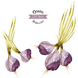 Organic onion watercolor vector Stock Image