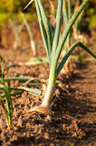 Organic onions  in the garden Stock Images