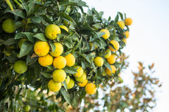 Organic orange tree. Stock Photo