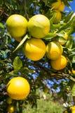 Organic orange tree. Stock Image