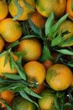 Organic oranges. A basket full of Organic oranges Royalty Free Stock Photo
