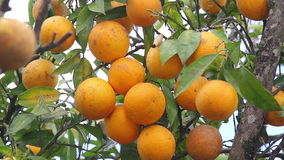 Organic Oranges in the tree stock footage