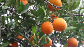 Organic Oranges in the tree stock video footage