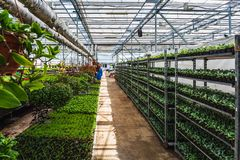 Organic ornamental plants cultivation nursery farm. Large modern hothouse or greenhouse, farming growing seedings production. Organic hydroponic ornamental stock image