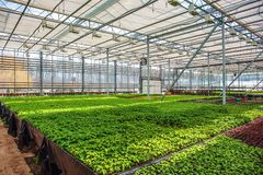 Organic ornamental plants and flowers in modern hydroponic greenhouse or hothouse with climate control system royalty free stock images