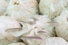 Organic oyster mushroom Royalty Free Stock Image