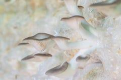 Organic oyster mushroom Stock Photo