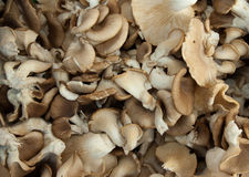 Organic oyster mushrooms stock photo
