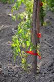 Organic paprika growing Stock Photography