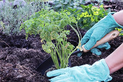 Organic Parsley. A gardener's gloved hand planting parsley in an organic herb garden with rich composted soil Stock Photo