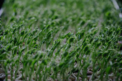 Organic pea sprouts grow Royalty Free Stock Photo