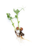 Organic pea sprouts in white backround. Stock Photography