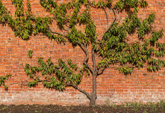 Organic Peach Tree on Brick Wall Royalty Free Stock Photo