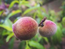 Organic peach on it tree royalty free stock photos