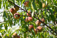 Organic peaches on the tree Stock Photography