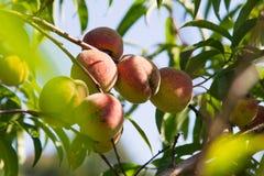 Organic peaches on the tree Stock Photo