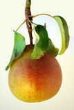 Organic Pear Royalty Free Stock Image