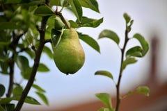 Pear Stock Photos