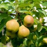 Organic pear Royalty Free Stock Photos