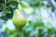 Organic pear in the garden Royalty Free Stock Images