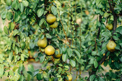 Organic pear hanging from tree. Curved Pear Hanging on a Tree. Stock Photo