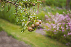 Organic pear tree Stock Images