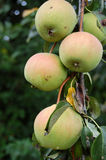 Organic pears. Picture of a Organic pears Royalty Free Stock Photo