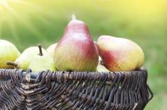 Organic pears in basket. Organic ripe pears in basket Royalty Free Stock Photo