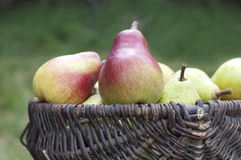 Organic pears in basket. Organic ripe pears in a basket against a grass Stock Photography