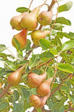 Organic pears on the branch Stock Photo