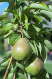 Organic pears in the garden Royalty Free Stock Photos