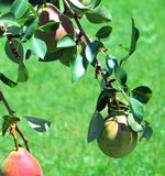 Organic pears. Royalty Free Stock Photo