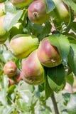 Organic Pears Stock Image