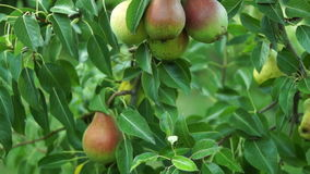 Organic Pears On A Tree, Pan stock footage