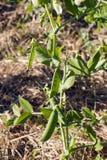 Organic Peas Stock Image