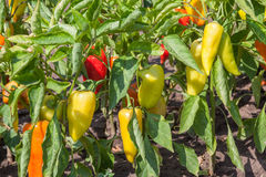 Organic peppers growing in the garden Royalty Free Stock Photo