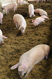Organic pig farm. With large pigs Royalty Free Stock Photos