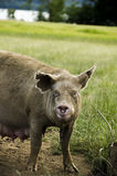 Organic pig Royalty Free Stock Photos