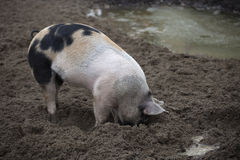 Organic pig rooting in the ground. This outdoor pig has a better life than a factory pig, which promoted the quality of its meat Stock Image