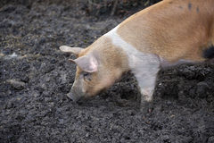 Organic pig rooting in the ground Stock Image