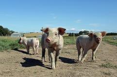 Organic piglets Stock Photos