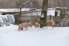 Organic piglets Royalty Free Stock Photography