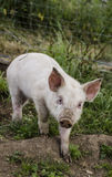 Organic piglets. Organic piglet looking courious in the camera royalty free stock photo