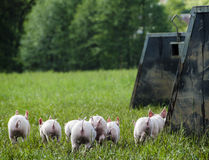 Organic piglets Royalty Free Stock Photography