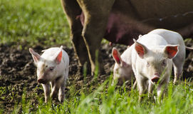 Organic piglets Royalty Free Stock Photos