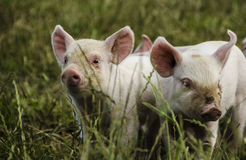 Organic piglets. Organic small piglets looking courious royalty free stock photography